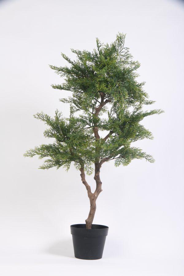 Miniature Cedar in plastic pot