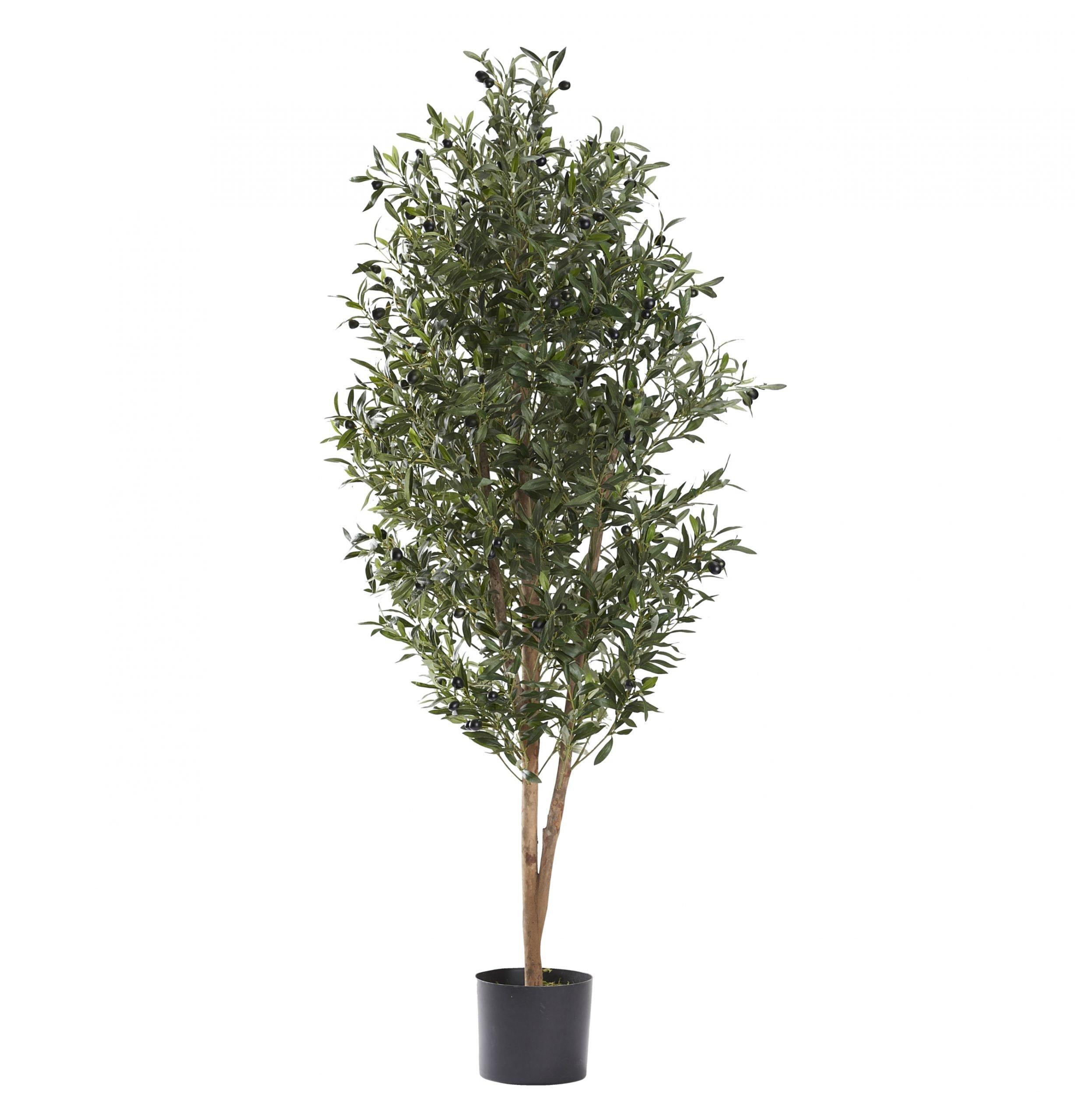 5' Natural Olive