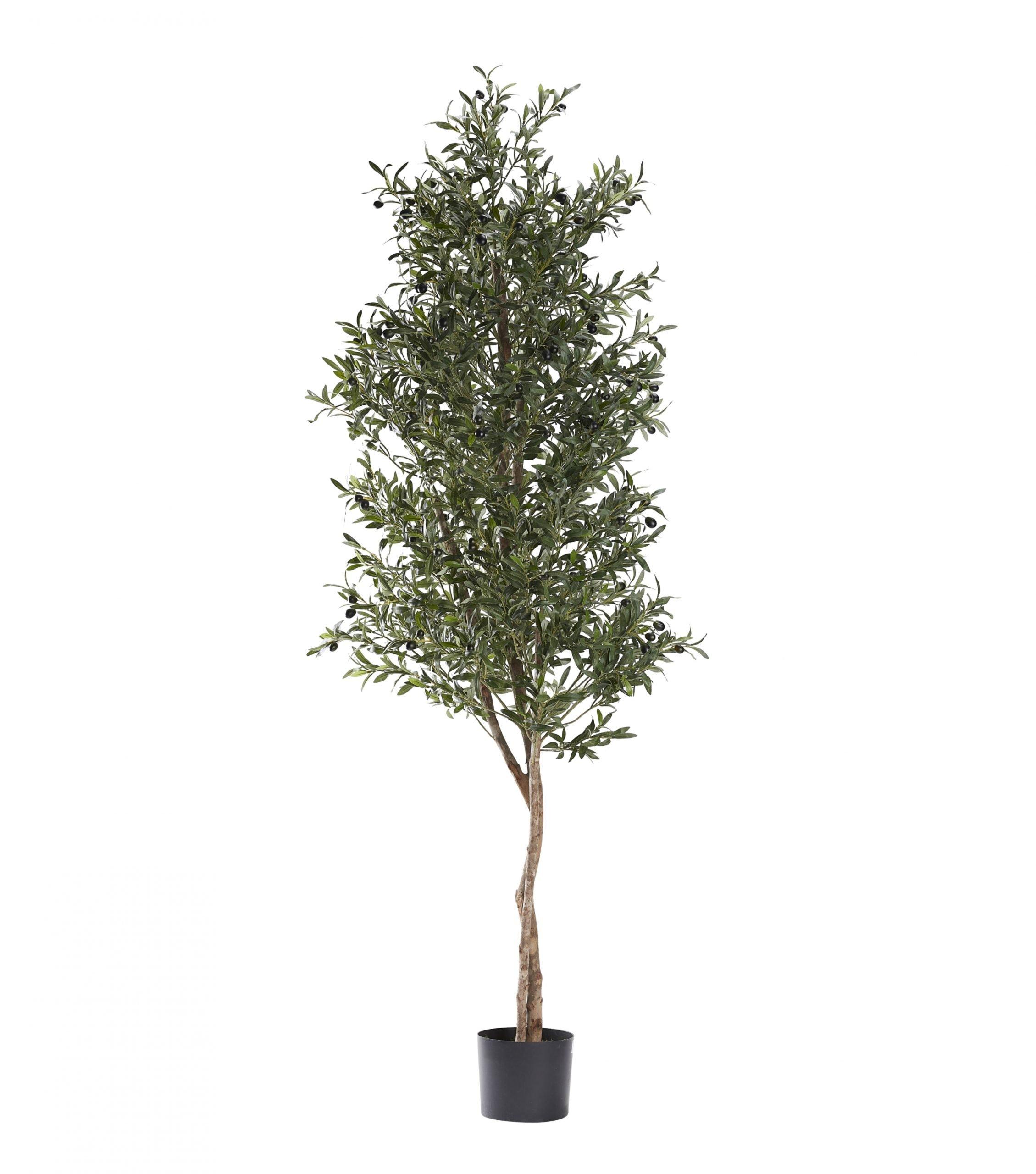 8' Natural Olive Tree